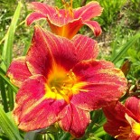 Hemerocallis 'Red Lava'