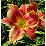 Hemerocallis 'Mystical Fire'