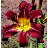 Hemerocallis 'Chocolate Dragon'