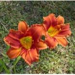 Hemerocallis 'Coralie'