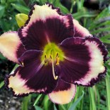 Hemerocallis 'A Little Night Music'