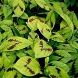 Persicaria virginiana 'Filiformis'