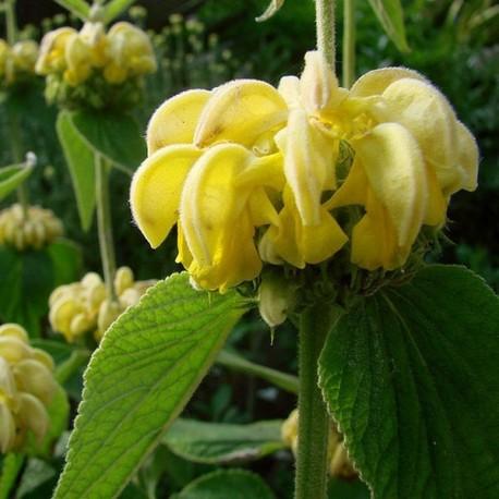 Phlomis russeliana'
