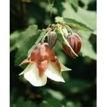 Abutilon megapotanicum 'Ines'