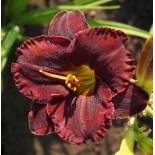 Hemerocallis 'Black Velvet Baby'