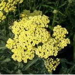 Achilléa millefolium ' Hymne'