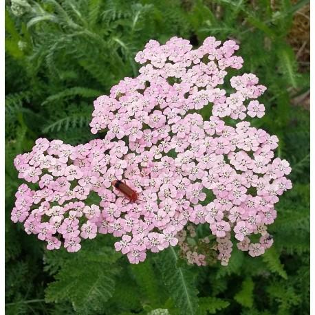 Achillea millefolium 'Pink Lady'