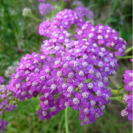 Achillea millefolium 'Mel's Prairie Delight'
