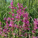 Agastache hybr 'Summer Love'