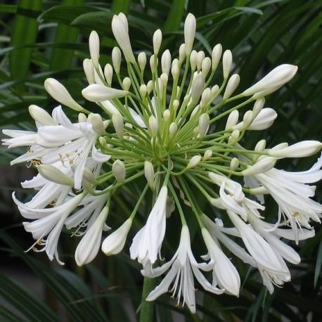 Agapanthus umbellatus 'Albus'
