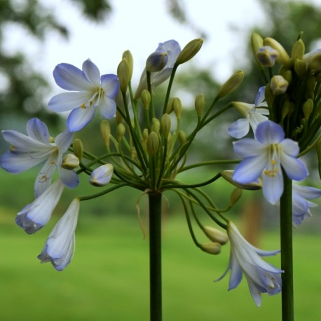 Agapanthus 'Silver Baby'