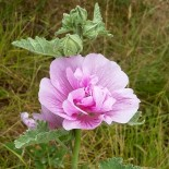 Alcalthaea suffruticosa 'Parkrondel'