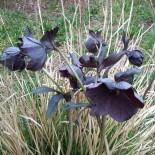 Helleborus orientalis 'Slaty Blue'