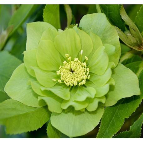 Helleborus orientalis 'Harvington Double Green'