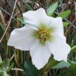 Helleborus orientalis 'White Wings'