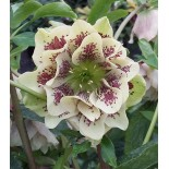Helleborus orientalis 'Double Spotted White'