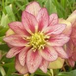 Helleborus orientalis 'Vanille Fraise'