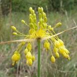 Allium flavum 'Glaucum'