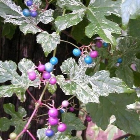 Ampelopsis brevipedunculata 'Tricolor'