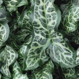 Arum italicum  'Marmoratum'