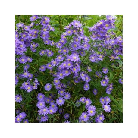 Aster x ericoides 'Blue Wonder'