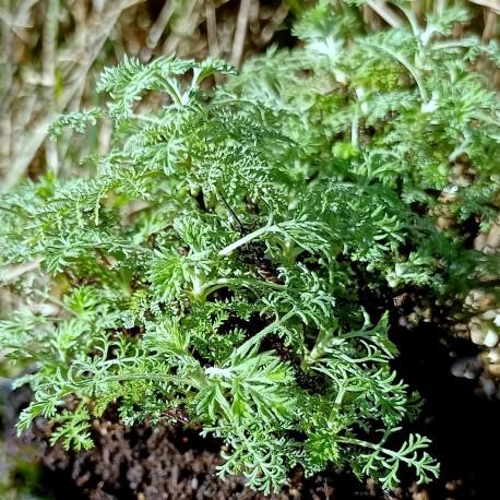 Artemisia abrotanum 'Courson'