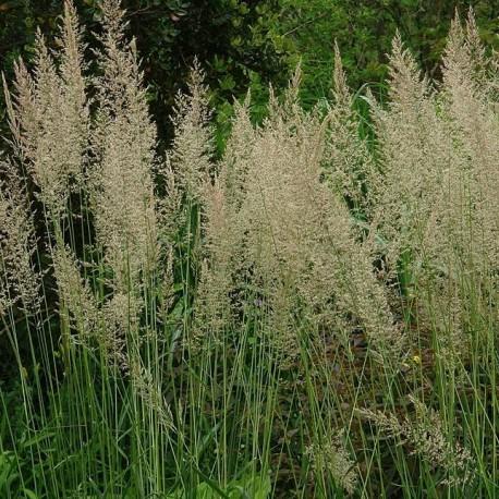 Calamagrostis x acutiflora 'Waldenbuch'