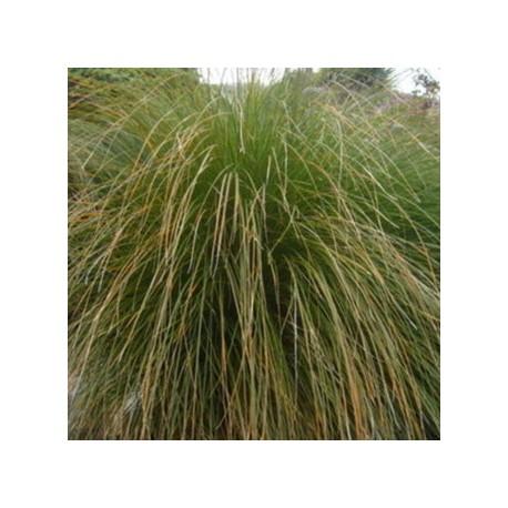 Carex secta