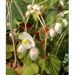 Begonia evansiana 'Grandis Alba'