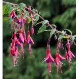 Fuchsia regia sssp Reitzii