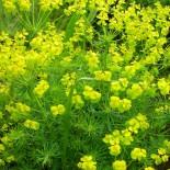 Euphorbia cyparisias
