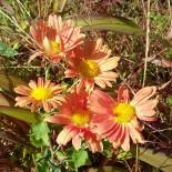 Chrysanthemum (Dendrathema) 'Cottage Apricot'