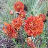 Chrysanthemum 'Paul Boissier'