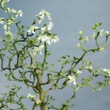 Poncirus trifoliata 'Flying Dragon'