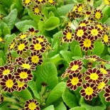 Primula eleator 'Gold Lace'