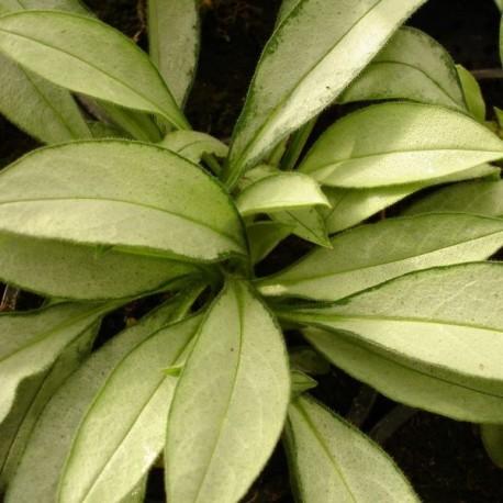 Pulmonaria hybr 'Samouraï'