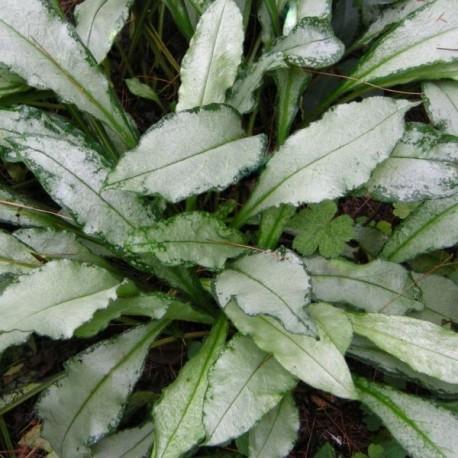 Pulmonaria longifolia 'Diana Clare'