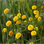 Ranunculus acris var pleniflorus
