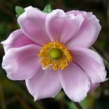 Anemone hupehensis 'Reine Charlotte'