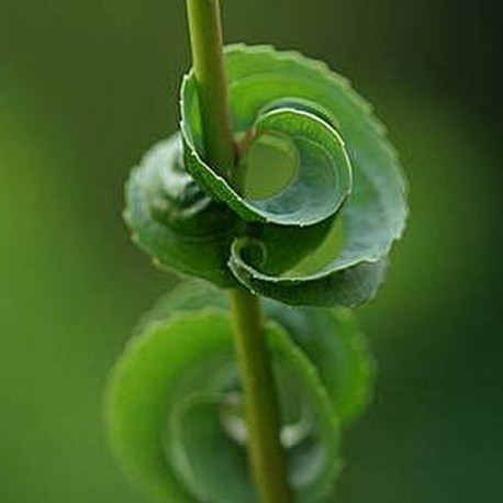 Salix babylonica  'Anularis'
