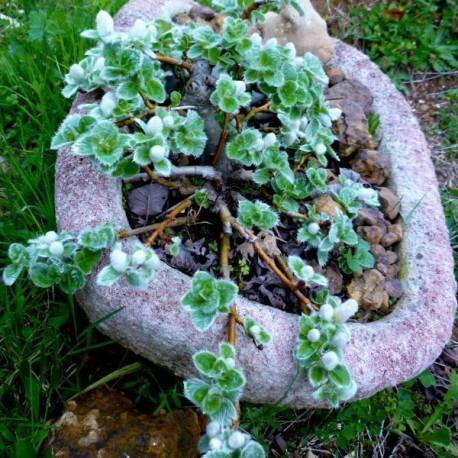 Salix nakamurana Yezoalpina