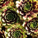 Sempervivum 'Hayling'