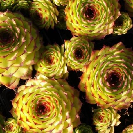 Sempervivum tectorum 'Birchmeyer'