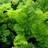 Tanasetum vulgare 'Crispum'