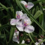 Tradescantia virginiana 'Billberry Ice'