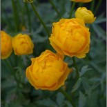 Trollius x cultorum Orange Princess