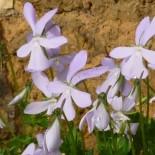Viola cornuta 'Lilac Fee'