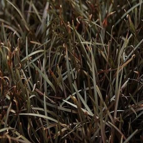 Carex berggrenii