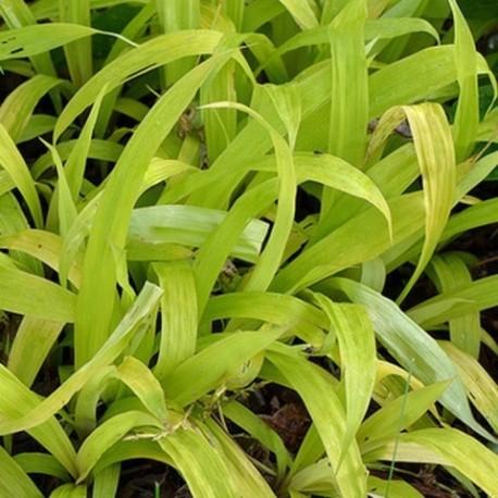 Carex ciliatomarginata 'Lemmon Zest' :