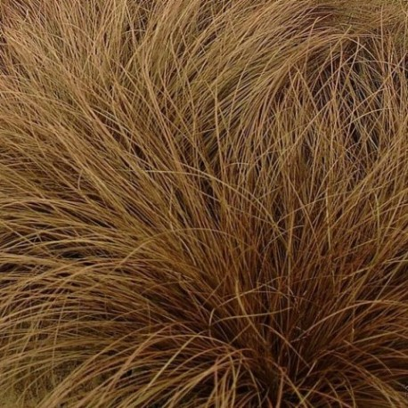 Carex comans 'Dancing Flame'
